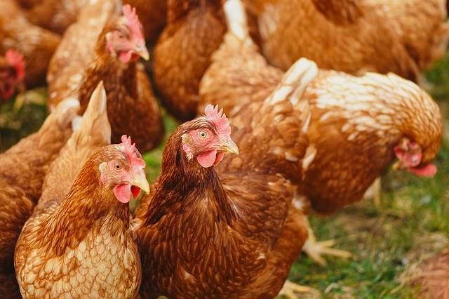 Chickens Poultry Free Running - Free photo on Pixabay (339488)
