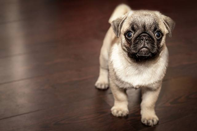 Pug Puppy Dog - Free photo on Pixabay (339759)