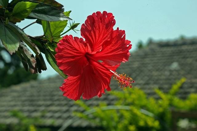 Hibiscus Hashigo梧 Okinawa - Free photo on Pixabay (355485)
