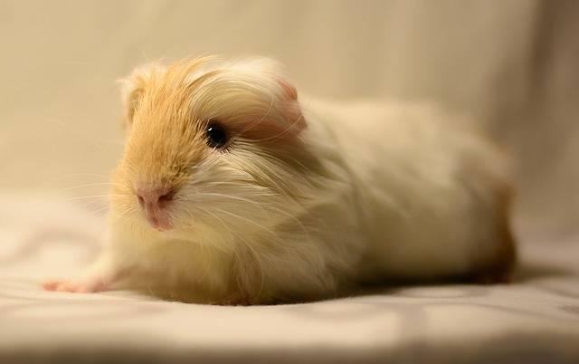 Guinea Pig Cavy Cute - Free photo on Pixabay (358256)