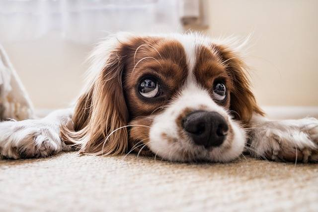Dog Sad Waiting - Free photo on Pixabay (383621)
