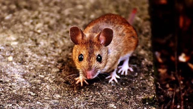 Mouse Rodent Cute - Free photo on Pixabay (388256)