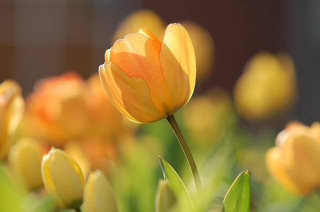 Tulip Yellow Bright - Free photo on Pixabay (405403)