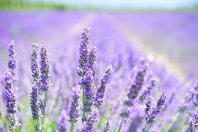 Lavender Blossom Purple - Free photo on Pixabay (405425)