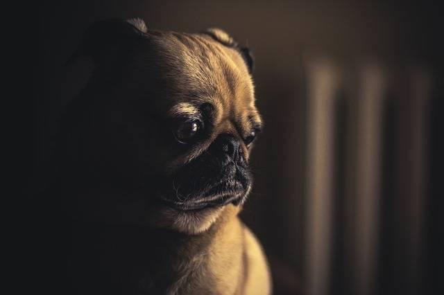 Dog Pug Puppy - Free photo on Pixabay (407999)