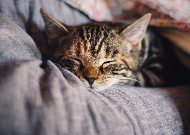 Cat Domestic Sleep - Free photo on Pixabay (427887)