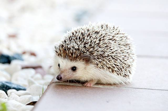 Hedgehog Animal Baby - Free photo on Pixabay (465322)