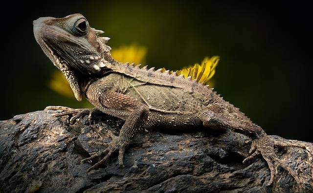 Lizard Reptile Forest Dragon - Free photo on Pixabay (505937)