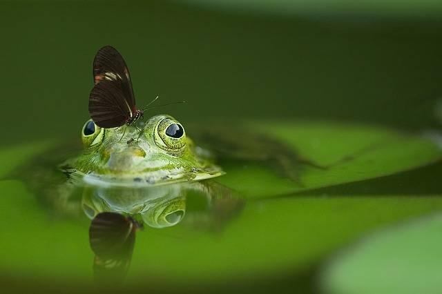 Frog Butterfly Pond - Free photo on Pixabay (506105)