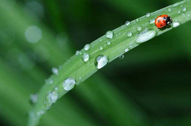 Ladybug Drop Of Water Rain - Free photo on Pixabay (517381)