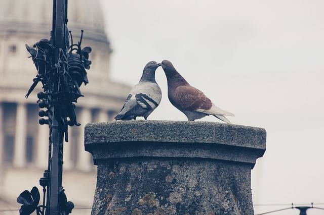 Lovebirds Pigeons Pair Love For - Free photo on Pixabay (531501)