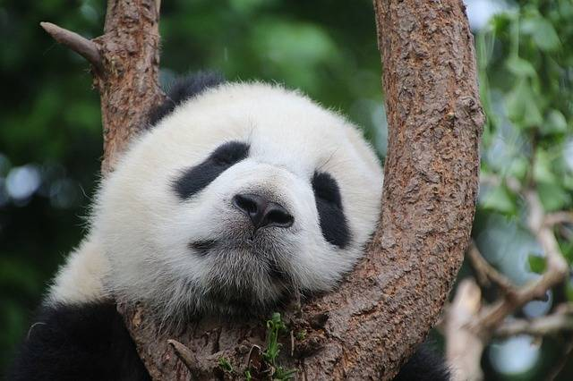 Panda Bear Sleep - Free photo on Pixabay (536749)