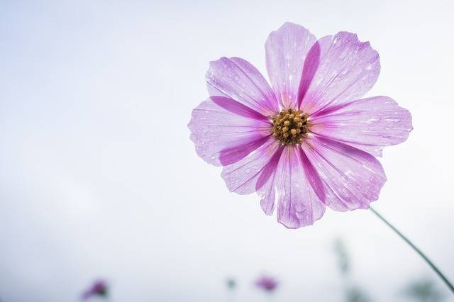 Cosmos Flower Garden - Free photo on Pixabay (537284)