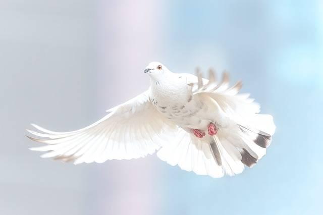 Dove Freedom Bird - Free photo on Pixabay (548483)