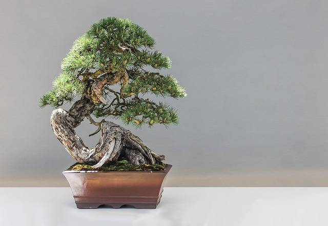 Bonsai Pine Plant - Free photo on Pixabay (562378)