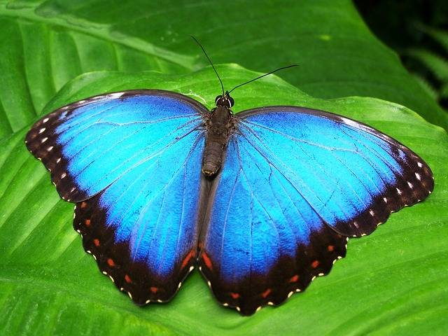 Butterfly Blue Insect - Free photo on Pixabay (582110)