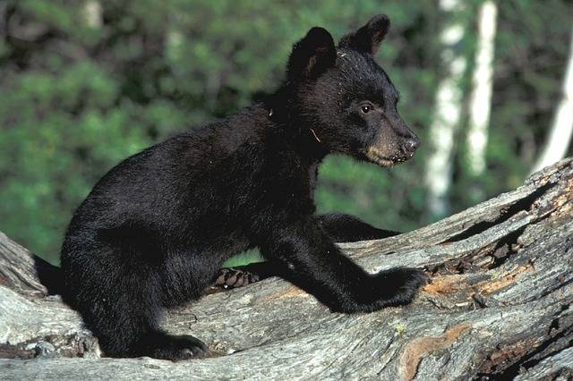Bear Cub Black - Free photo on Pixabay (603404)