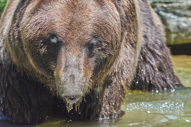Bear Water Brown - Free photo on Pixabay (604772)