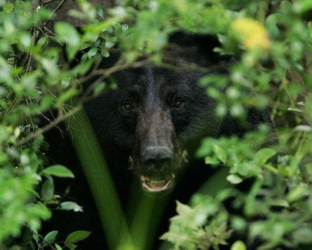 Black Bear Portrait Head - Free photo on Pixabay (605346)