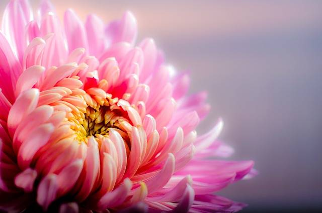 Chrysanthemum Blossom Flower - Free photo on Pixabay (617185)