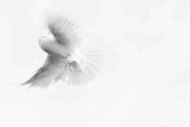 Dove Pigeon Innocence - Free photo on Pixabay (693860)