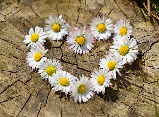 Daisy Heart Flowers Flower - Free photo on Pixabay (731896)