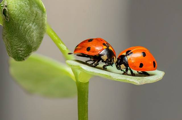 Ladybugs Ladybirds Bugs - Free photo on Pixabay (738648)